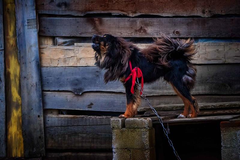 1605626528 Las 10 razas de perros mas fuertes del mundo