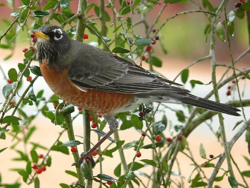 mejores pájaros cantores