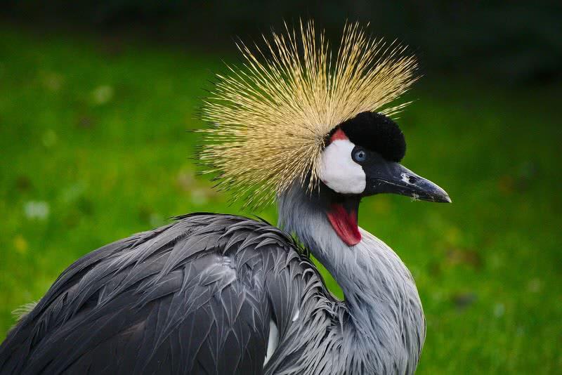 1605702785 719 Las 10 aves con las crestas mas hermosas