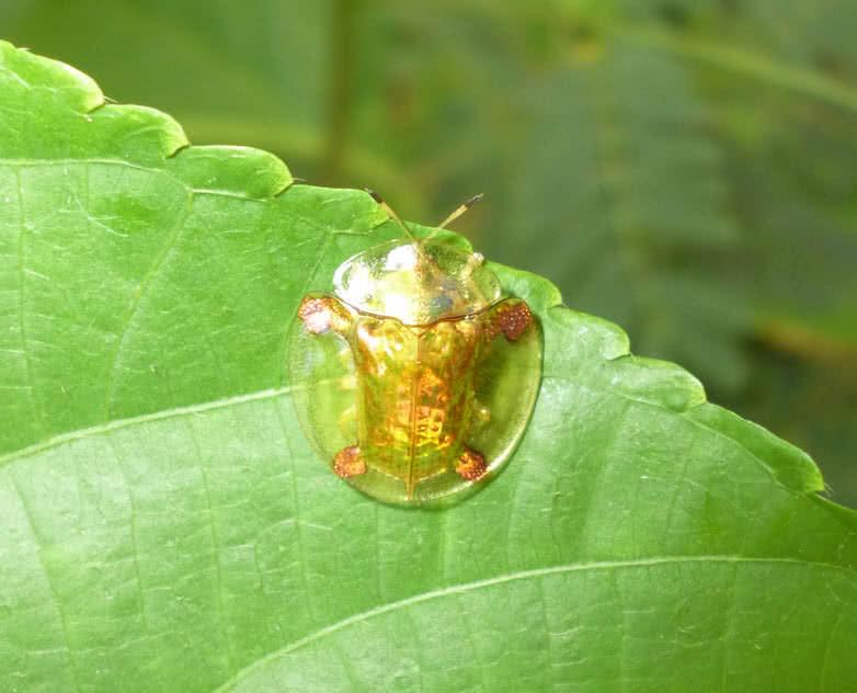 escarabajo tortuga dorada