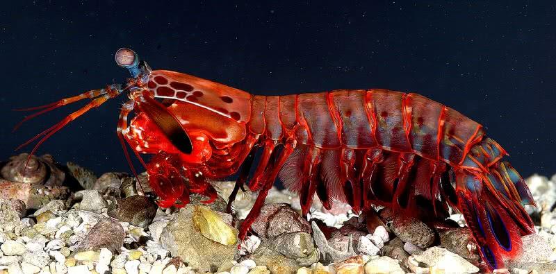 camarón mantis