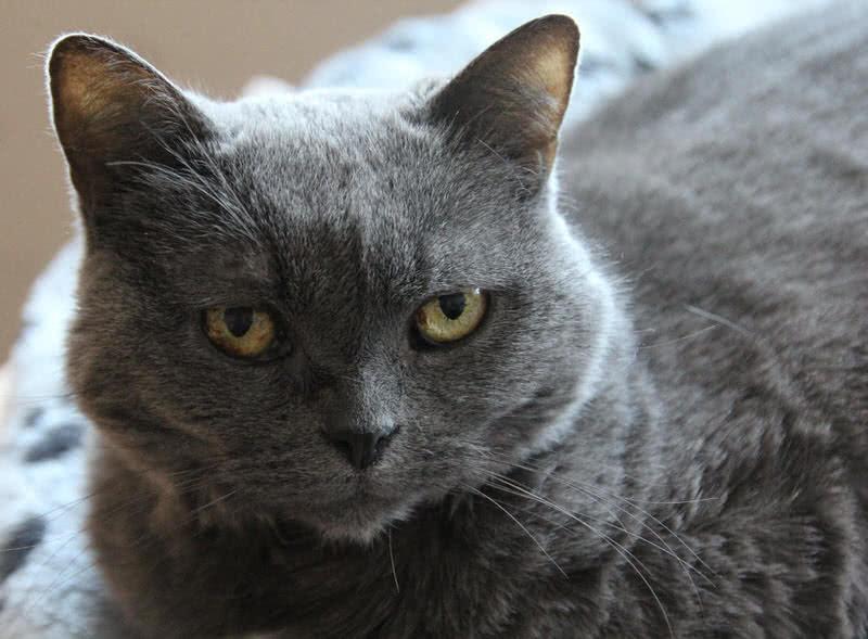 1605933618 785 Las 10 razas de gatos mas grandes del mundo