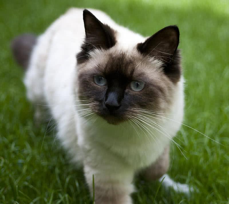 1605933619 143 Las 10 razas de gatos mas grandes del mundo