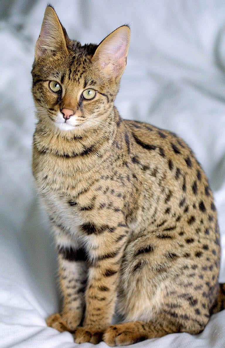 1605933619 265 Las 10 razas de gatos mas grandes del mundo