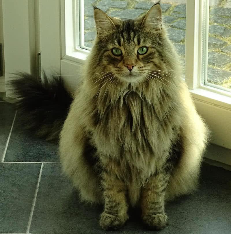 1605933619 586 Las 10 razas de gatos mas grandes del mundo