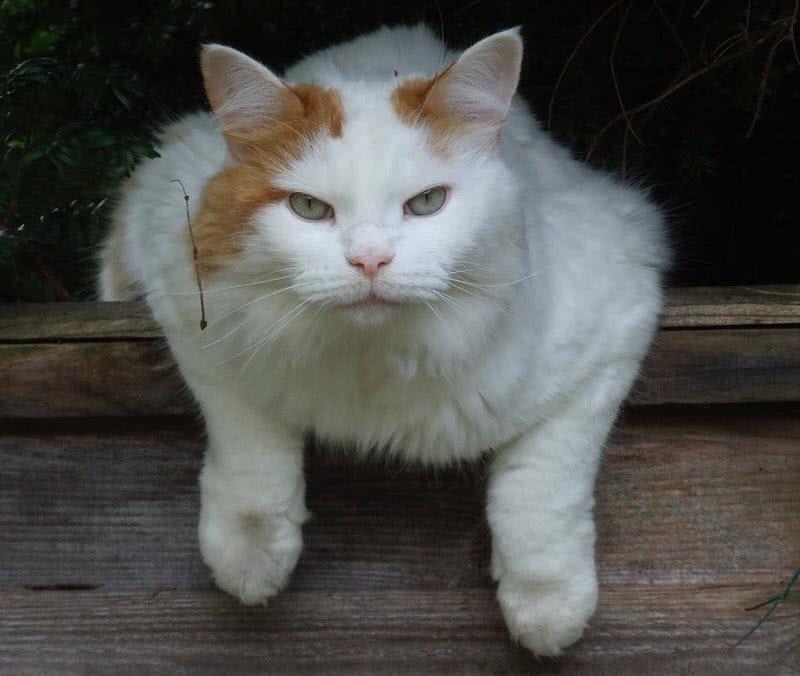 1605933619 662 Las 10 razas de gatos mas grandes del mundo