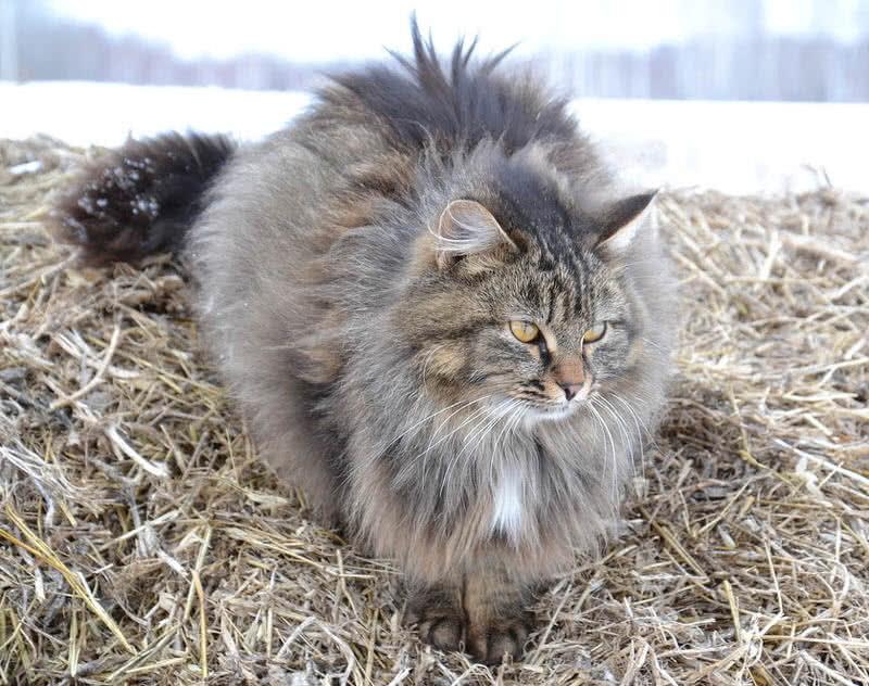 1605933619 915 Las 10 razas de gatos mas grandes del mundo