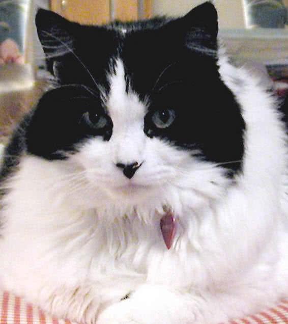 1605933619 940 Las 10 razas de gatos mas grandes del mundo