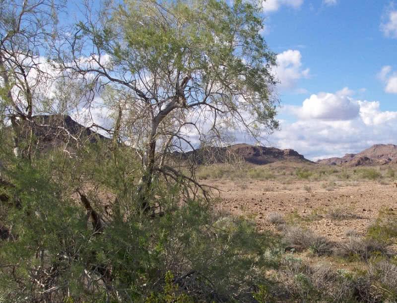 planta de palo de hierro del desierto