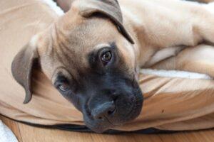 1606043304 128 10 razas de perros con vida mas corta del mundo