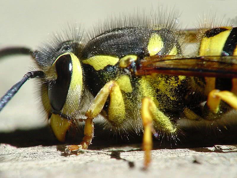 1606054152 334 Las 10 picaduras de insectos mas dolorosas