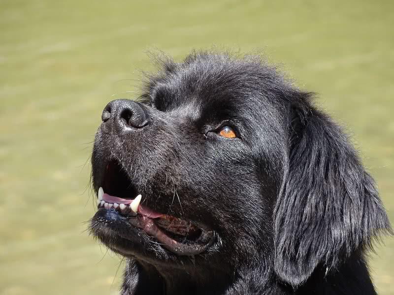 perro-terranova