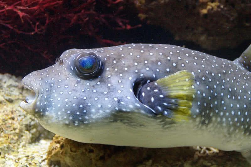 pez globo
