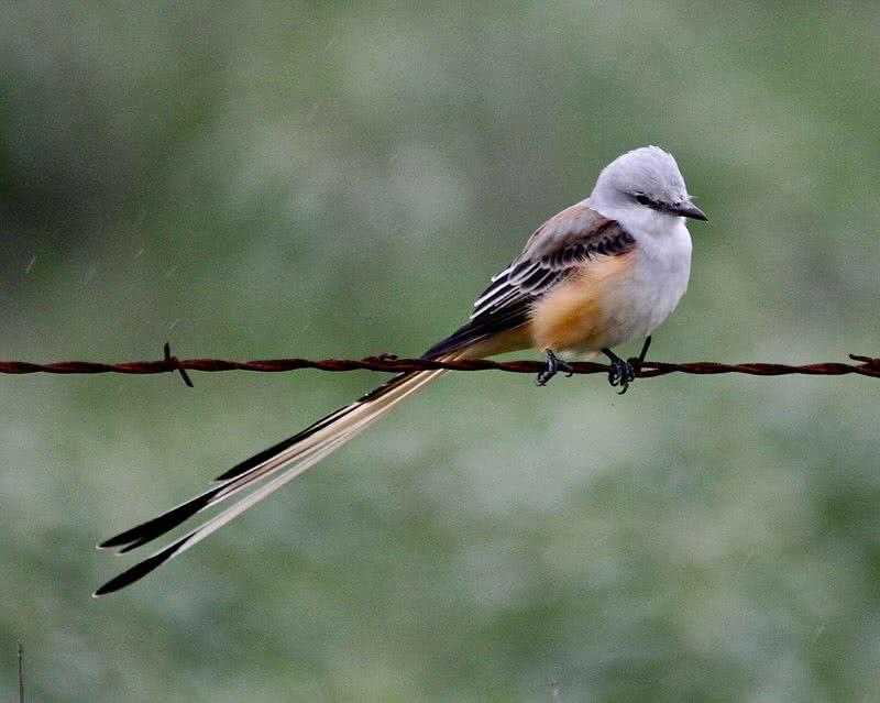 Flycather de cola de tijera