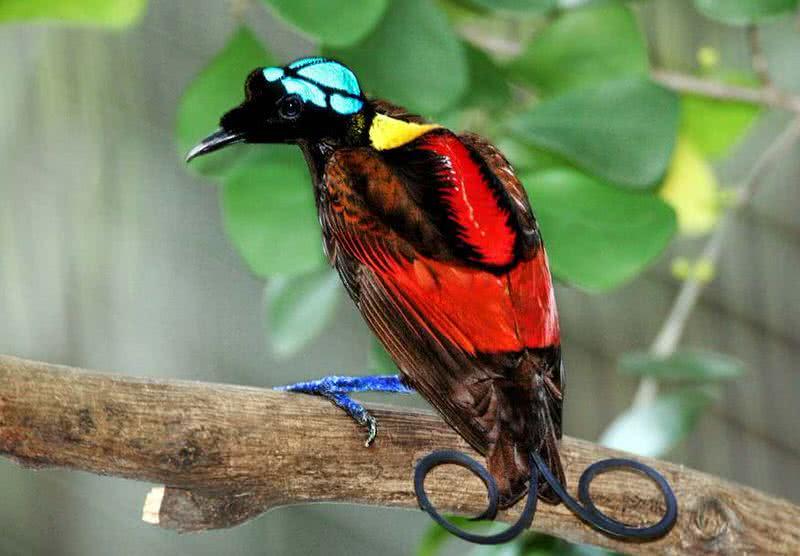 1606218181 409 Top 10 de aves con colas asombrosas