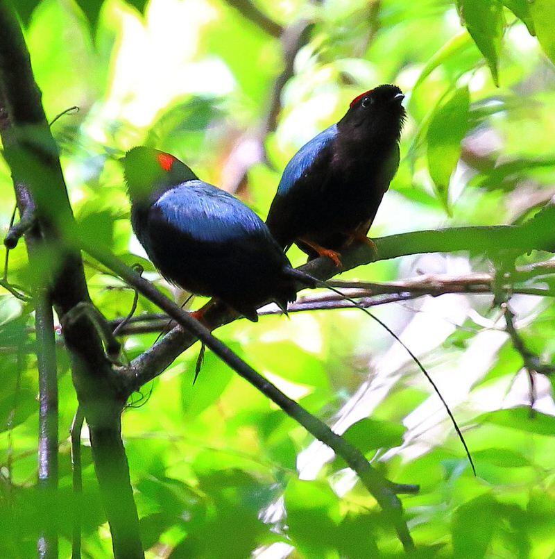 Pájaros manakin