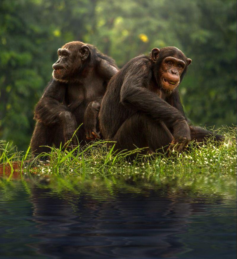 Chimpancé bonobo