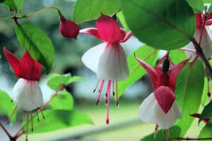 1606251231 144 Las 9 flores mas hermosas para cestas colgantes