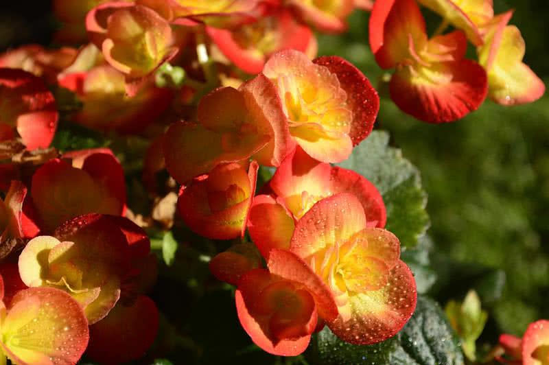 flores más hermosas para cestas colgantes