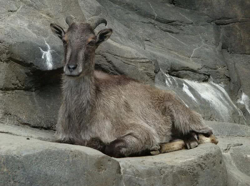 tahr del Himalaya