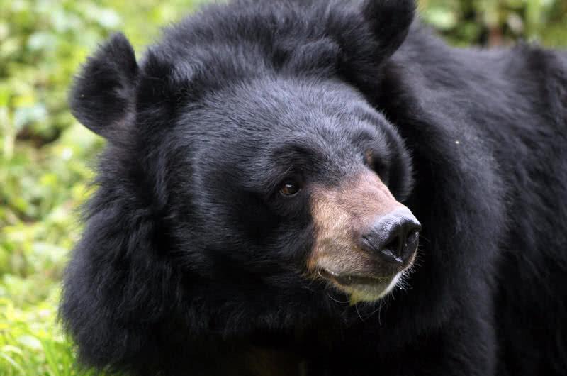 oso negro del Himalaya
