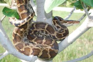 1606283931 205 8 serpientes vivas mas grandes del mundo
