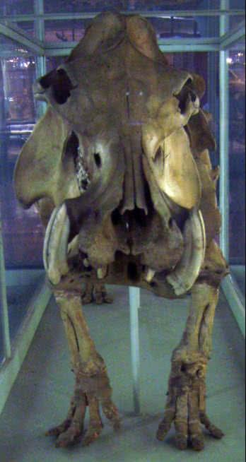 hipopótamo de Madagascar
