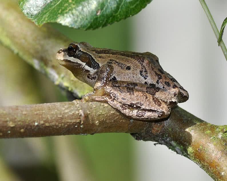 rana arborícola del pacífico