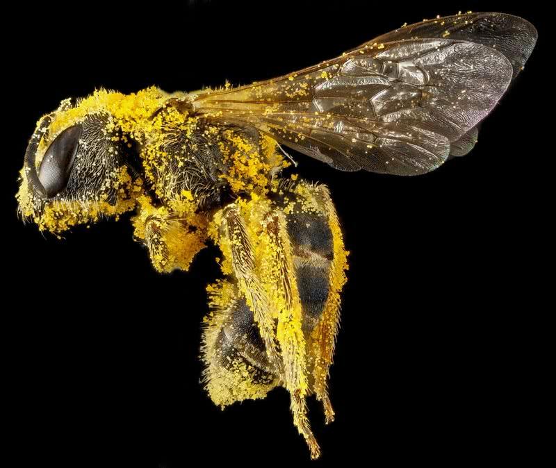 abeja del sudor