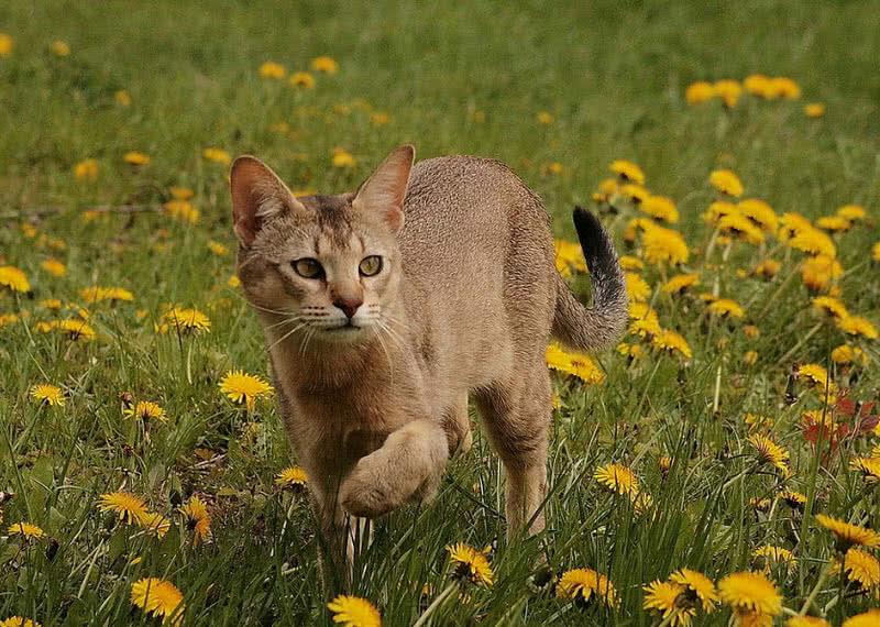 Las 10 razas de gatos mas grandes del mundo