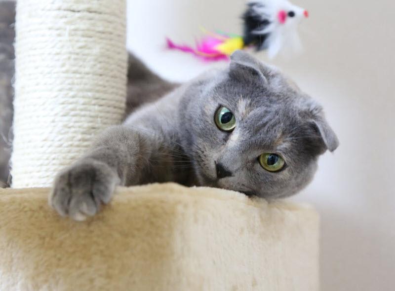 razas de gatos más pequeñas