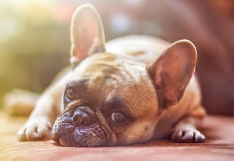 Las 10 razas de perros mas pequenas del mundo