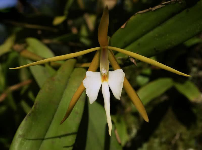 orquídea perfumada nocturna