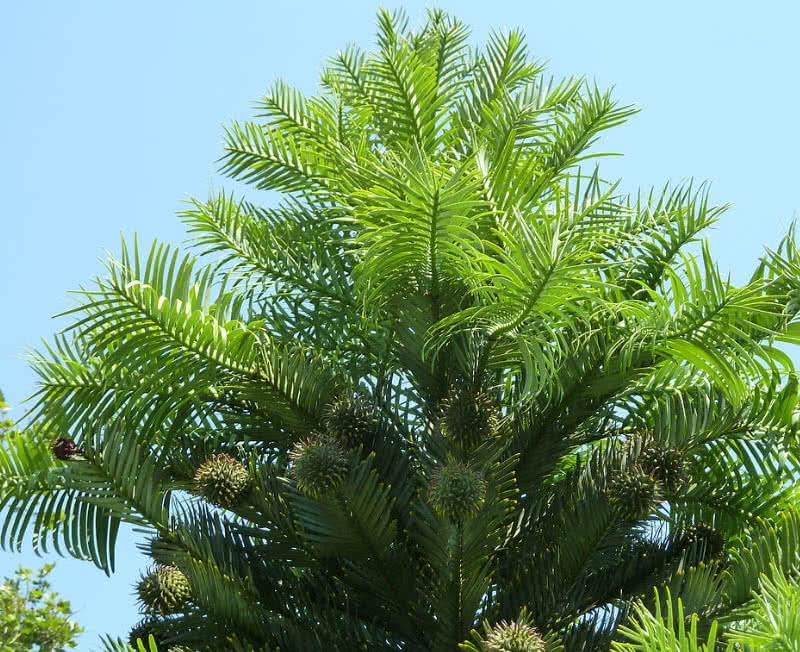 pino wollemi