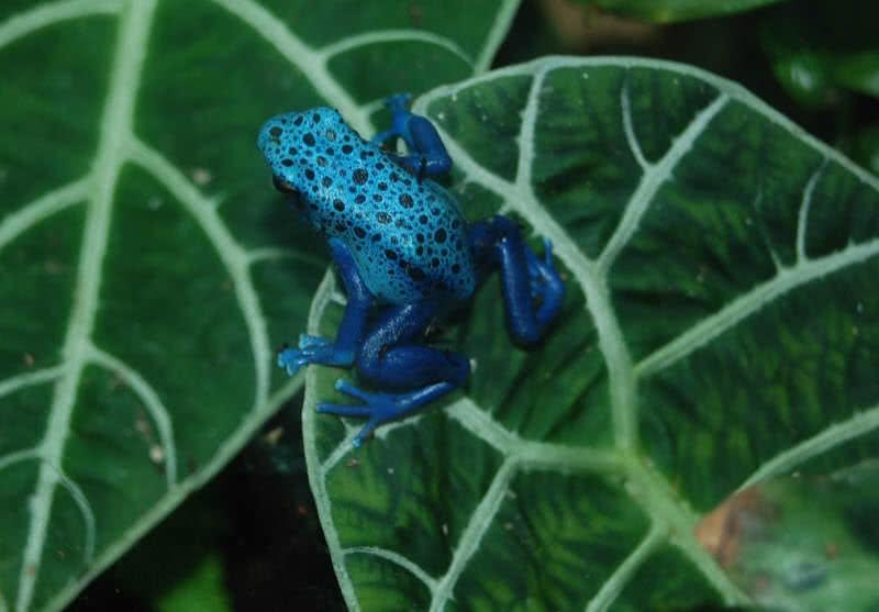 rana dardo azul