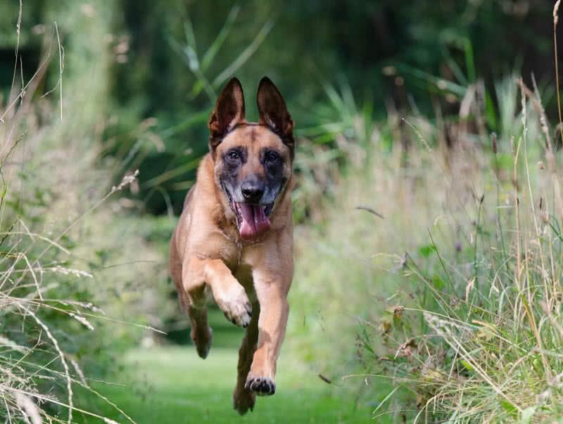 Los 10 mejores perros guardianes para la seguridad