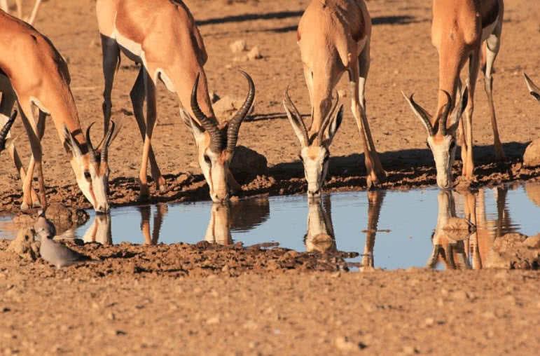 Ciervos Springbok